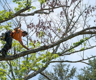 Deadwood removal services in the Adelaide Hills